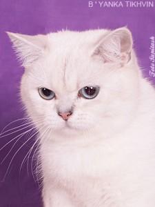 Питомник CASTELLO ROSSI. Британские и шотландские кошки