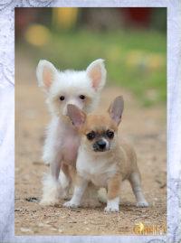 Чихуахуа, китайская хохлатая собака. Продажа щенков, кобели для вязки.