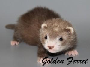 Клуб заводчиков хорьков Golden Ferret