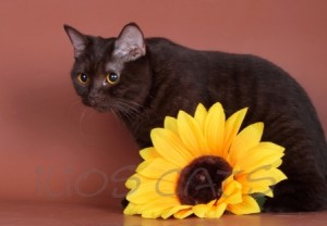 Питомник ILIOS CATS