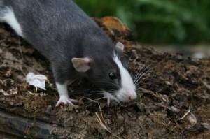 КПДК Iron Rat