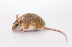 "Питомник ""Королева мышей"""