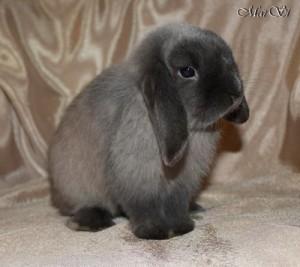 Питомник Les lapins MarSi