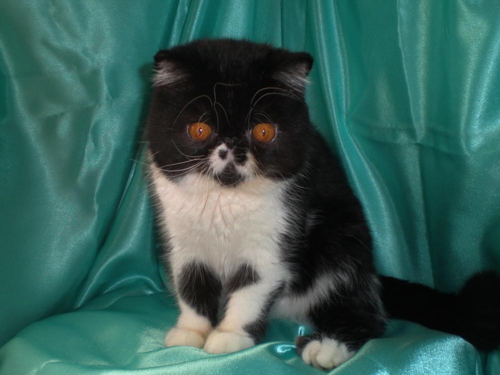 Кошки и котята породы экзотическая купить из питомников