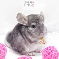 Питомник Shine Chinchillas